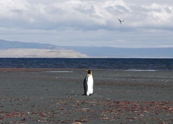 And not just any penguin. It was an Emperor penguin, rare outside Antarctica, with one or two colonies on Tierra del Fuego, and very unusual to be spotted in Seno Otaway, a long ways by sea from Tierra del Fuego.