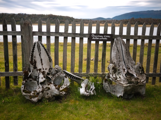 On our third morning we took a tour of Estancia Harberton, the island's first settlement. Found whale bones adorn the garden.