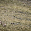 Over a bump in the ridge, we spooked a heard of big horn sheep.